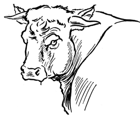480x409 Bull Portait Coloring Page Free Printable Coloring Pages