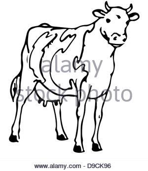 300x347 Australian Beef Cattle Breed