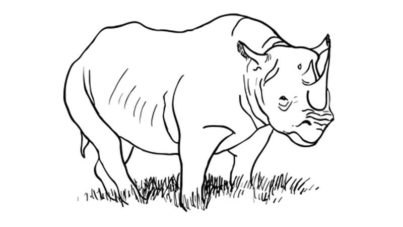 800x450 How To Draw A Rhinoceros