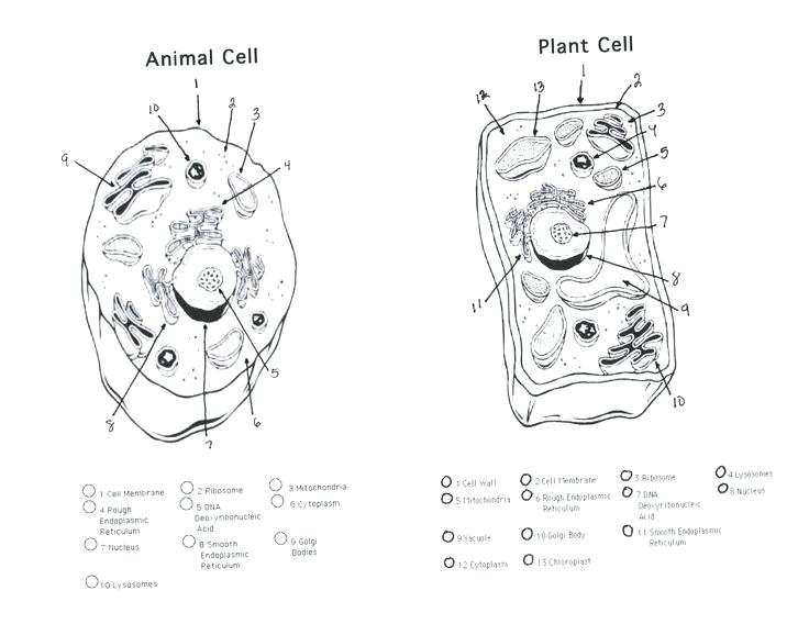 Animal cell drawing at getdrawings free for personal use 736x568 animal cell coloring diagram printable plant and on parts of an ccuart Images
