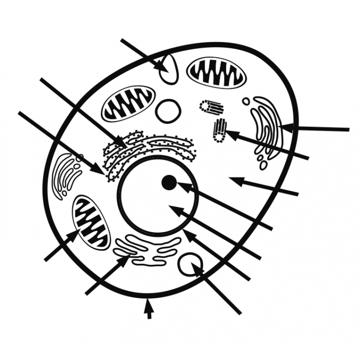 animal cells drawing at getdrawings com