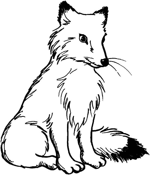 600x701 Arctic Fox Clipart Coloring Page