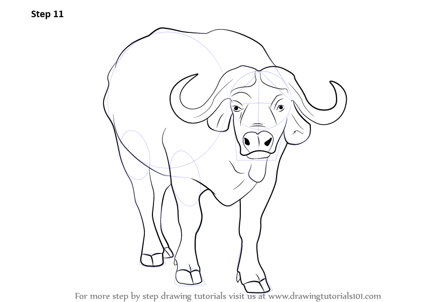 842x597 Learn How To Draw An African Buffalo (Wild Animals) Step By Step