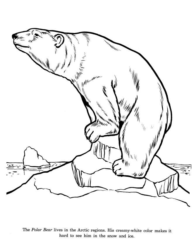 670x820 Drawn Polar Bear Arctic Animal