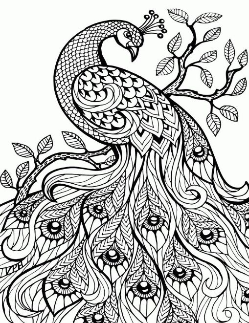 509x661 Adult Coloring Pages Peacock Animal Patterns Drawing Board Weekly