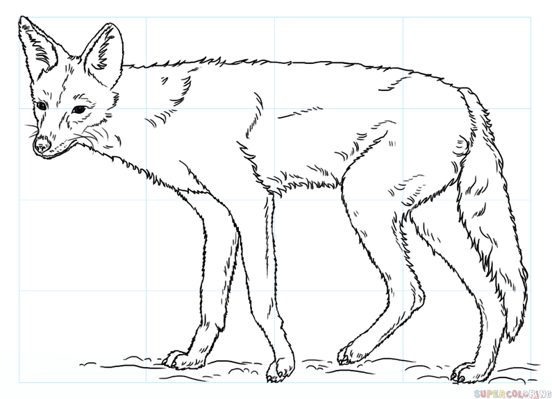 795x575 How To Draw A Jackal Step By Step Drawing Tutorials