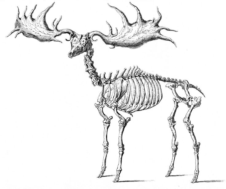 Animal Skeleton Drawing