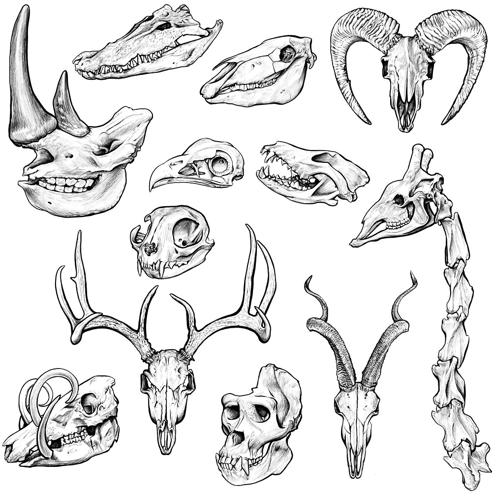1000x1000 Animal Skull Ink Sketch By Kylie Yang Redbubble