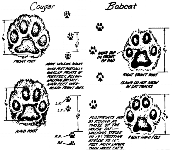 590x514 How To Identify And Track Animal Footprints The Art Of Manliness