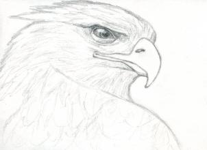 302x220 How To Draw A Realistic Eagle, Golden Eagle, Step By Step, Birds