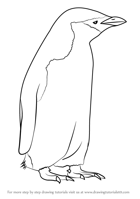 597x844 Learn How To Draw A Chinstrap Penguin (Antarctic Animals) Step By