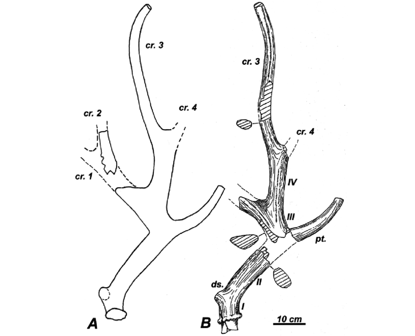 850x689 Right Antler Of Specimen Km388 A, Outline Drawing Of The Antler