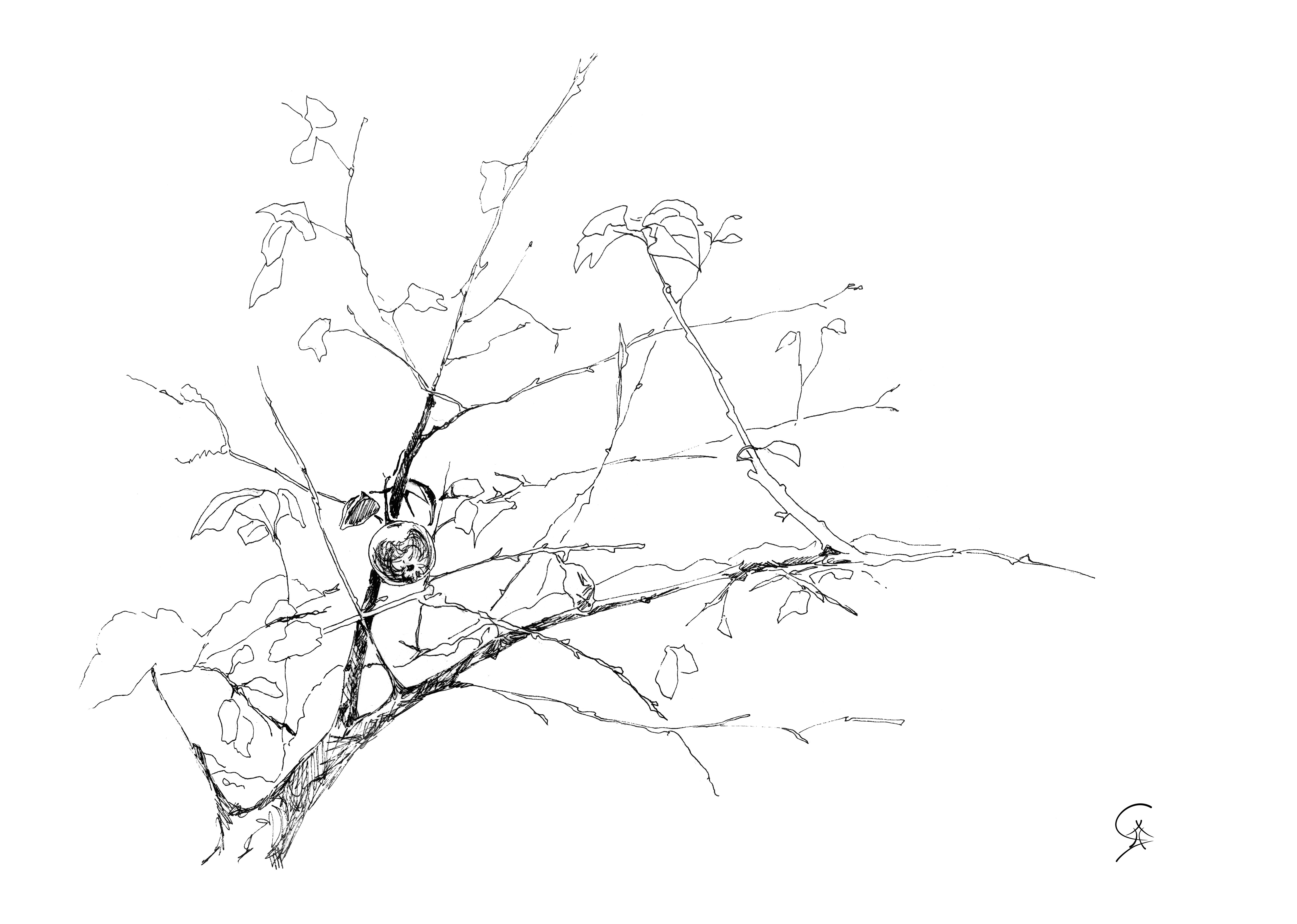 6538x4660 Pen And Ink Drawing Karma Yoga Apple Tree Branch.