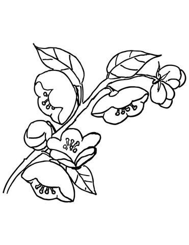 371x480 Apple Blossom Coloring Page Free Printable Coloring Pages