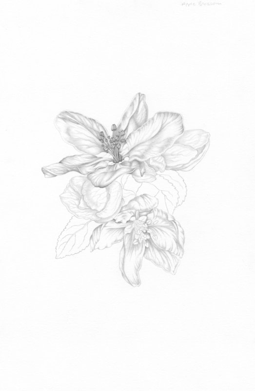 523x800 Apple Blossom Extract From Botanical Drawing By Penny Brown