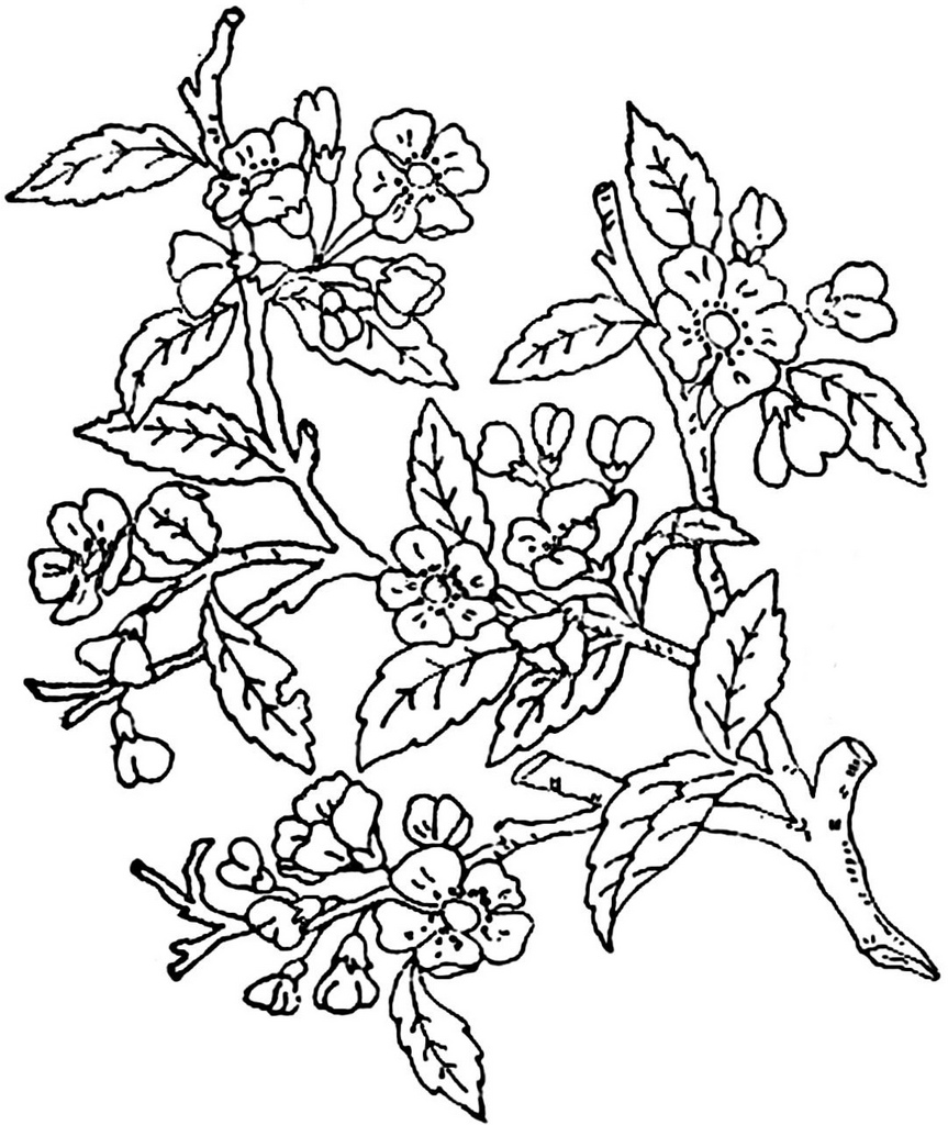 Apple Blossom Line Drawing