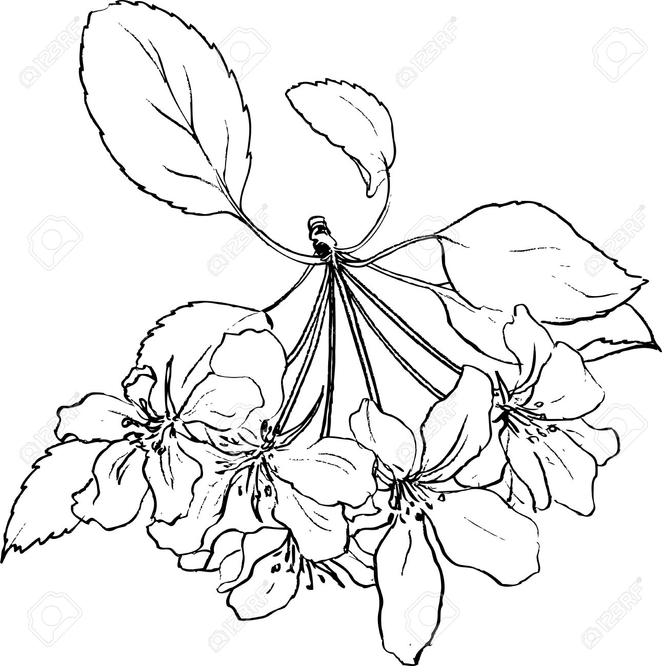 1291x1300 Spring Flowers Of Apple Tree, Line Drawing Apple Blossoms