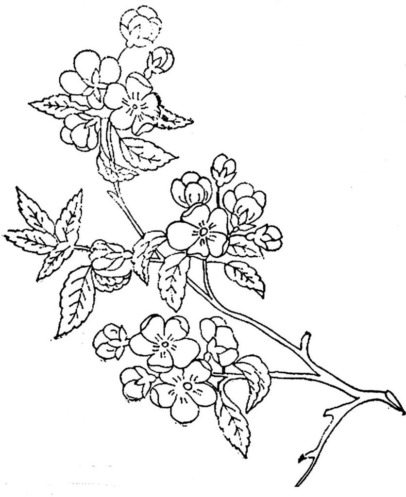 836x1024 1886 Ingalls Apple Blossoms On Branch