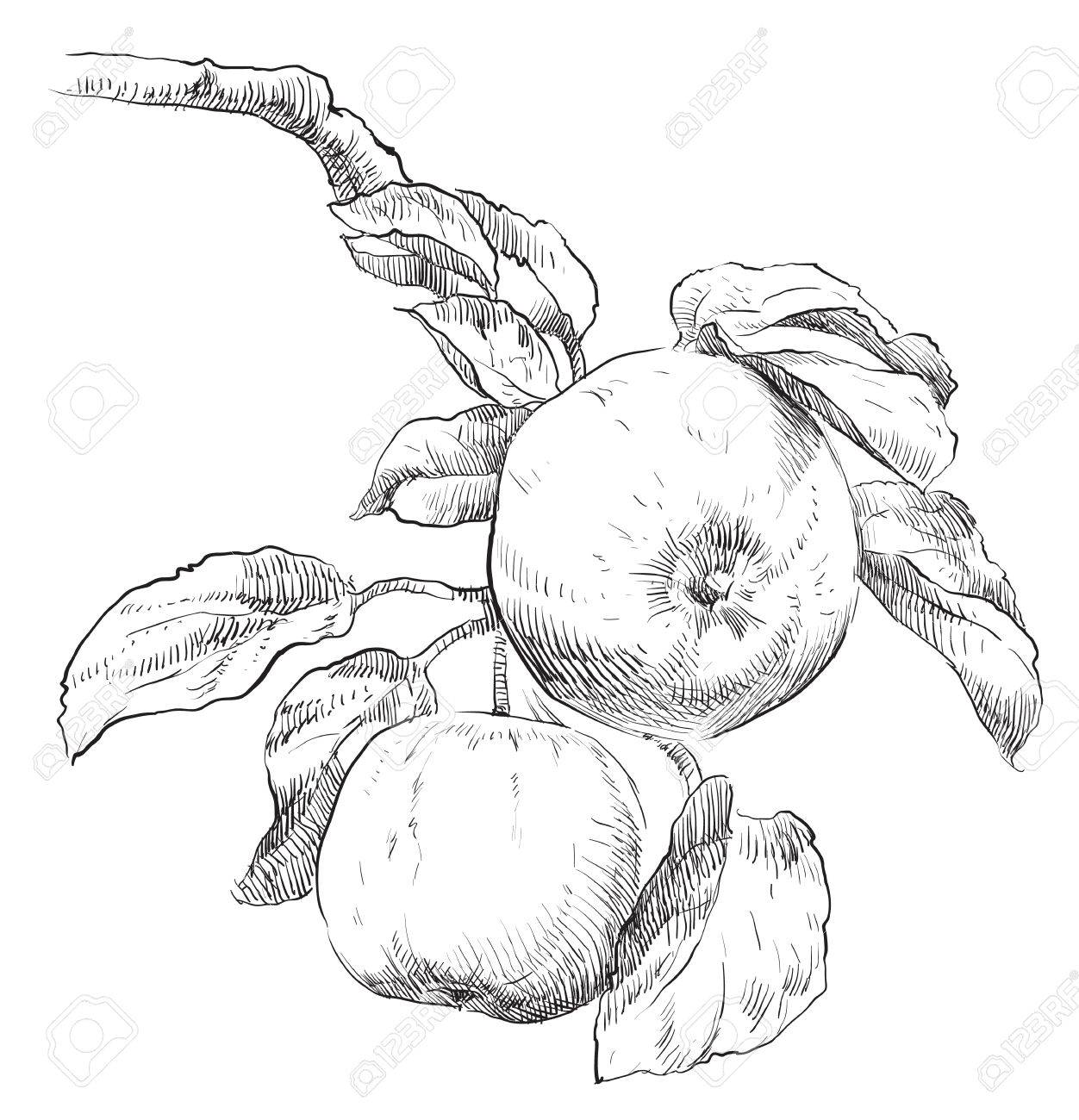 1252x1300 Hand Drawing Apple On Apple Tree Branch Royalty Free Cliparts