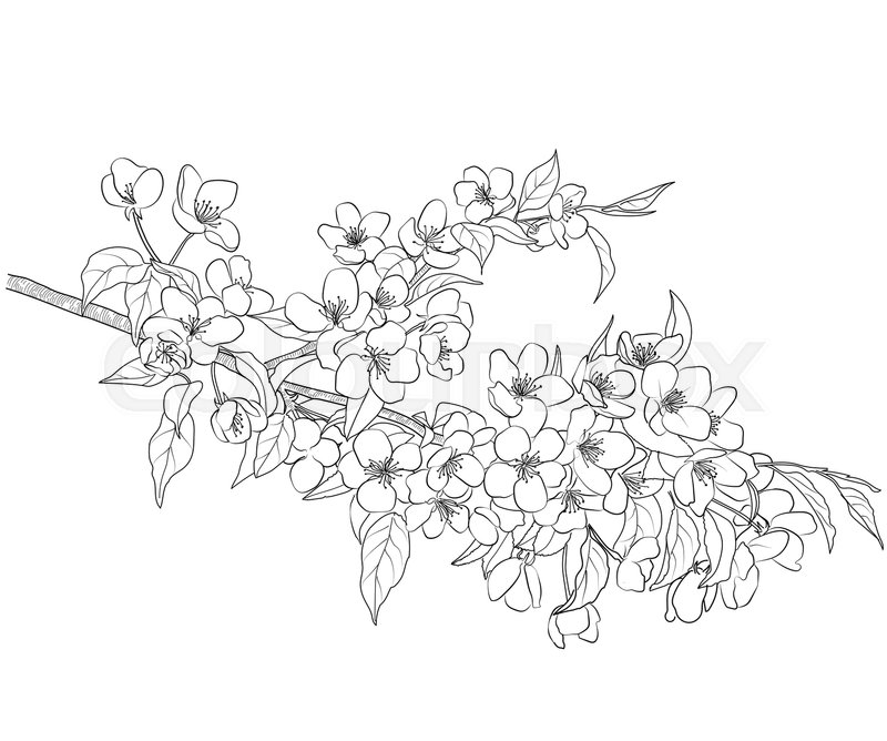 800x668 Drawing Of A Blossoming Apple Tree Branch Stock Vector Colourbox