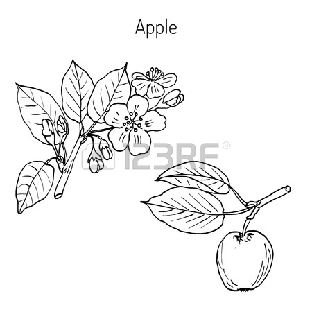 450x450 Hand Drawing Apple Tree Branch With Flowers. Botanical Vector