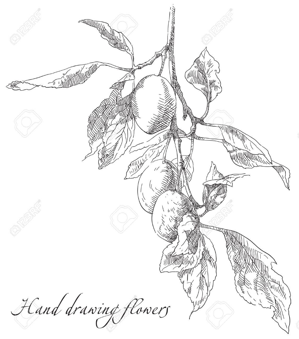 1145x1300 Hand Drawing Plum On Apple Tree Branch. Vector Illustration