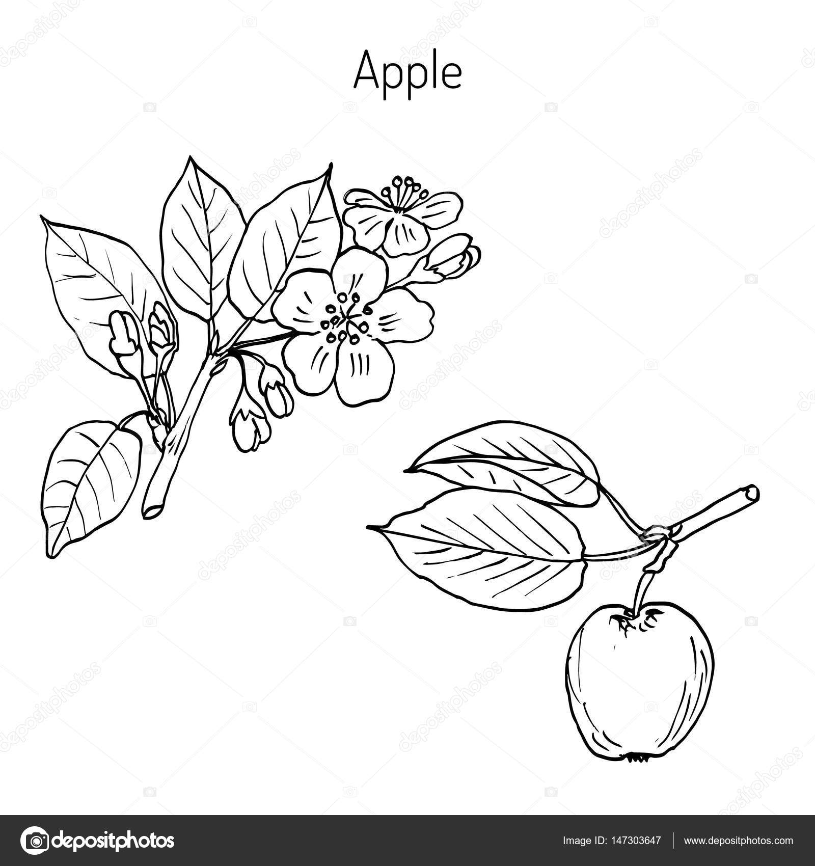 1600x1700 Hand Drawing Apple Tree Branch Stock Vector Foxyliam