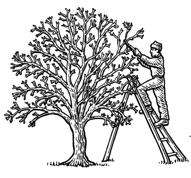 654x610 How To Prune An Apple Tree In Winter