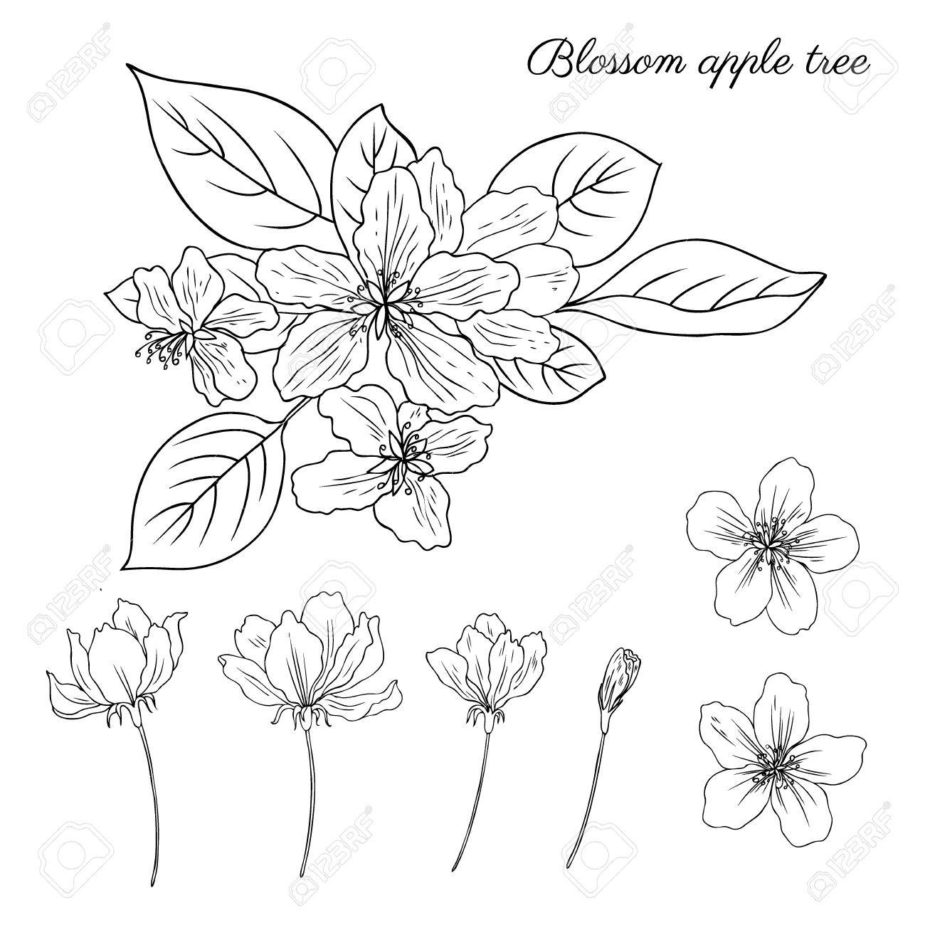 1300x1300 Apple Tree Blossom Flower, Bud, Leaves, Branch Vector Engraving