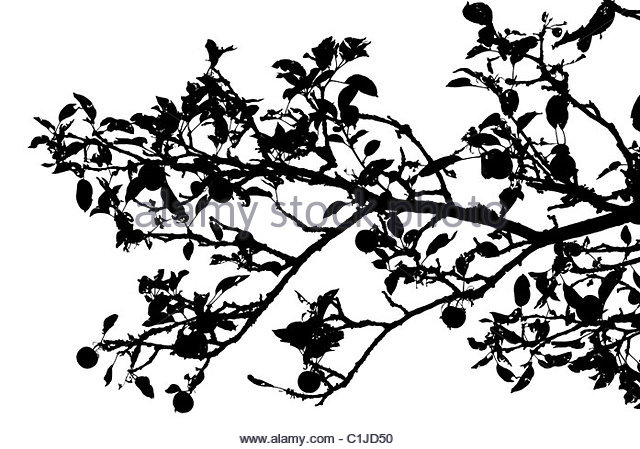 640x449 Apple Tree Branch Black And White Stock Photos Amp Images