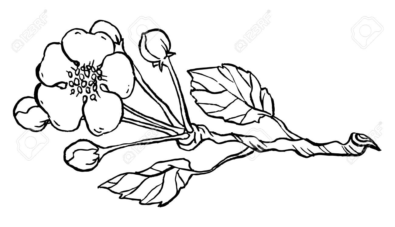 1300x746 Apple Tree Branch In Blossom Line Art Isolated On A White