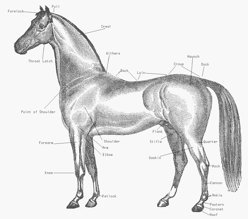 858x759 Free Arabian Horse Clipart, 1 Page Of Free To Use Images