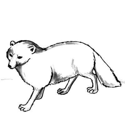 400x407 How To Draw An Arctic Fox
