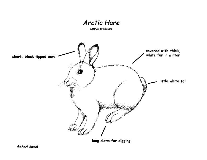 792x612 The Arctic Hare Animal Talk