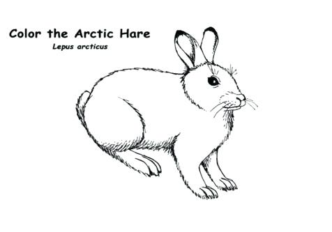 Arctic Hare Drawing at GetDrawings