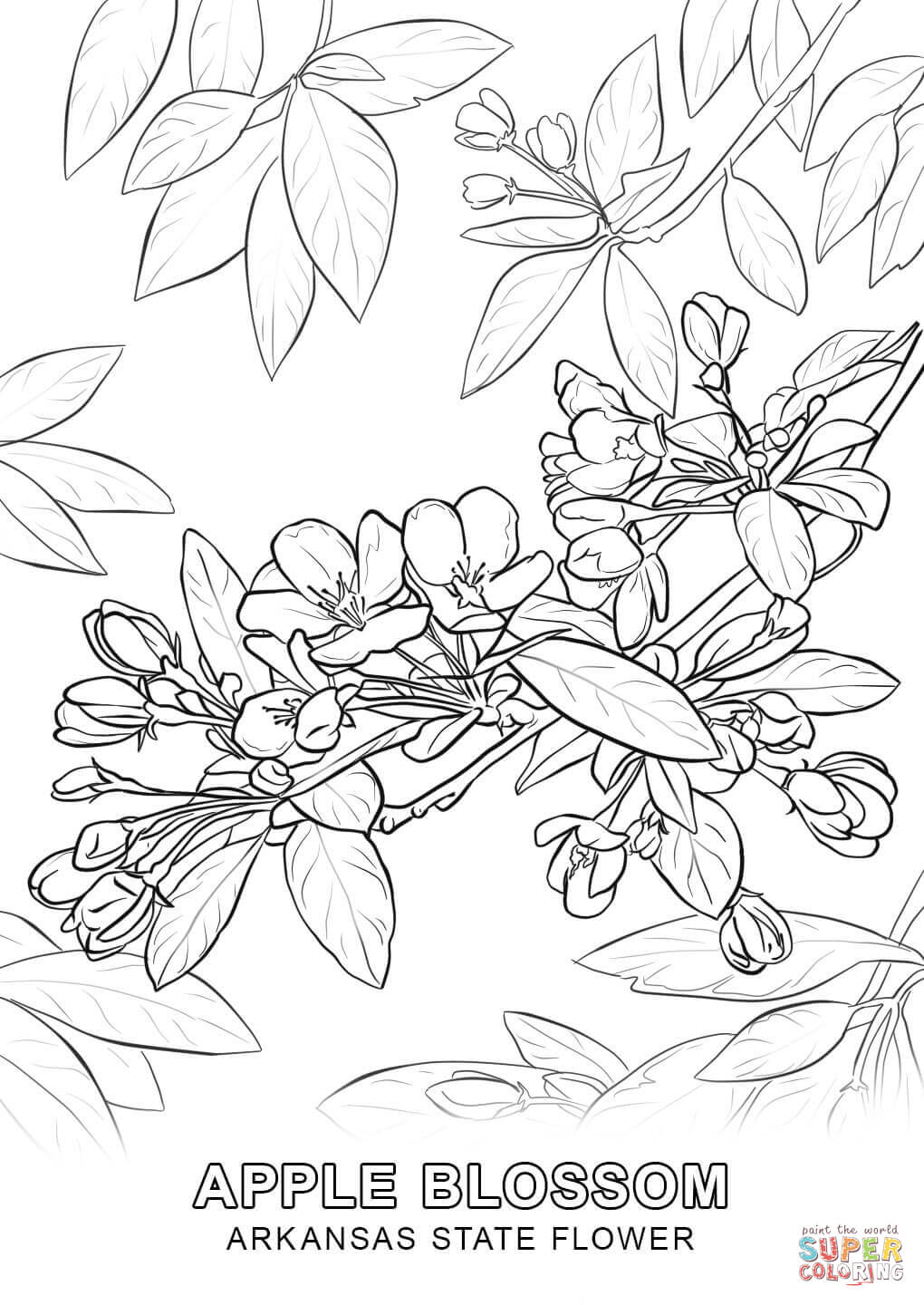 1020x1440 Arkansas State Flower Coloring Page Free Printable Pages