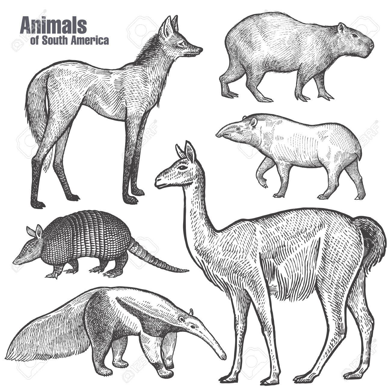 1300x1300 Animals Of South America Hand Drawing. Maned Wolf, Tapir, Capybara