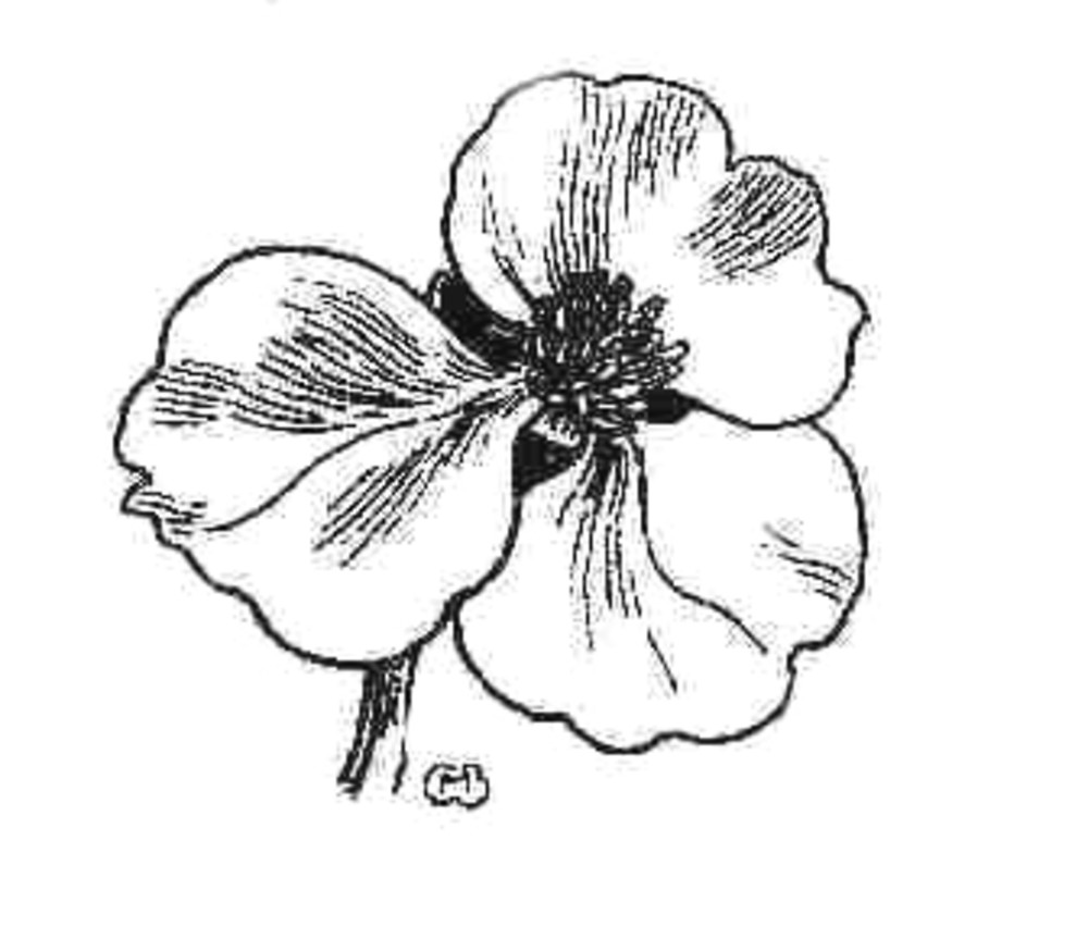 1000x863 Sagittaria Cuneata (Northern Arrowhead) Go Botany