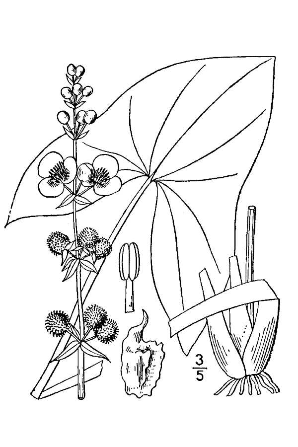 600x900 200507 Broadleaf Arrowhead (Sagittaria Latifolia)