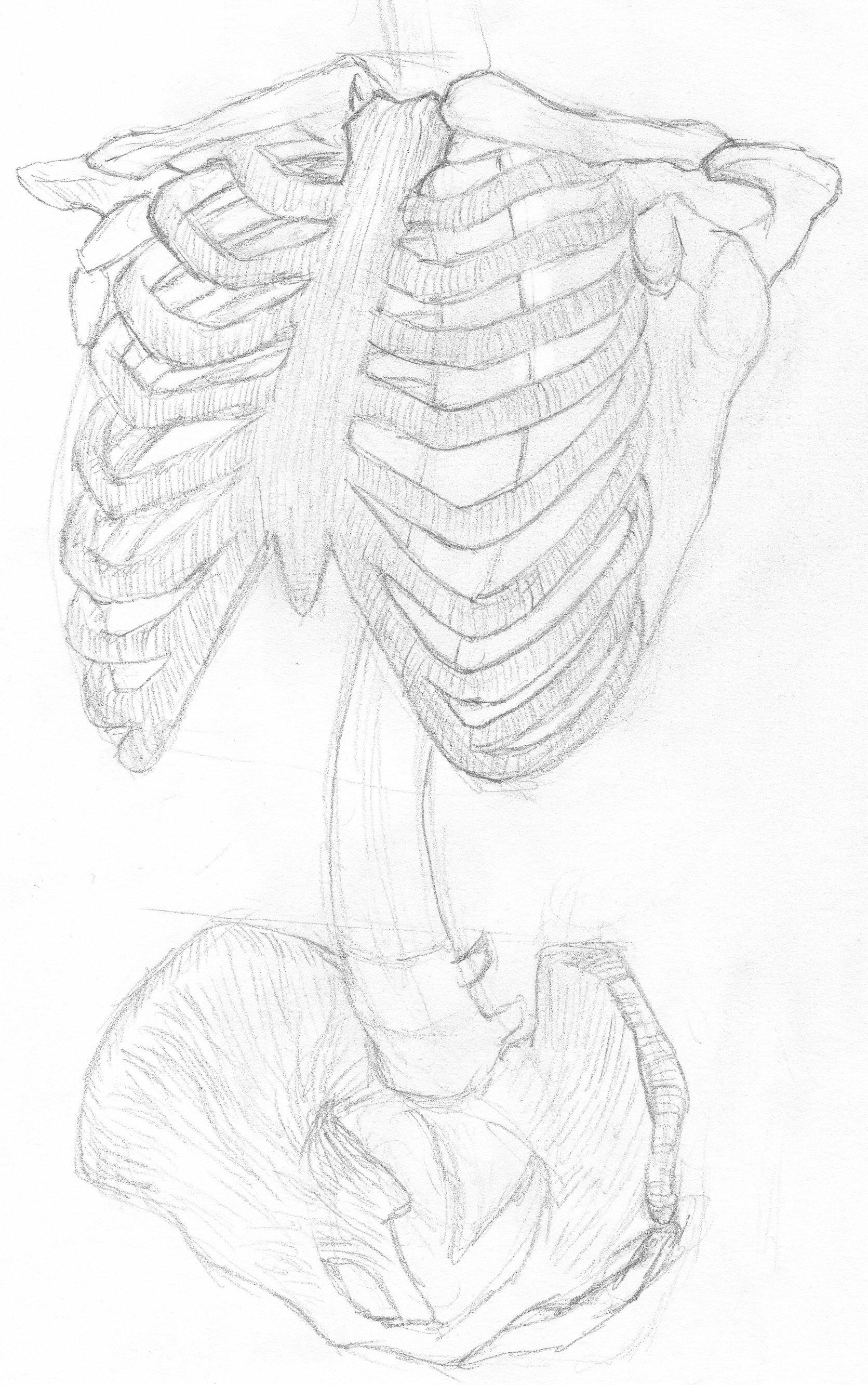 1671x2665 Pencil Drawing Skeleton Ribs And Pelvis Art