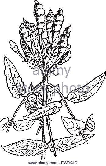 347x540 Artichoke Antique Drawing Stock Photos Amp Artichoke Antique Drawing