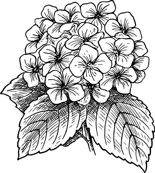 534x596 Gallery Flowers Drawing Picture,