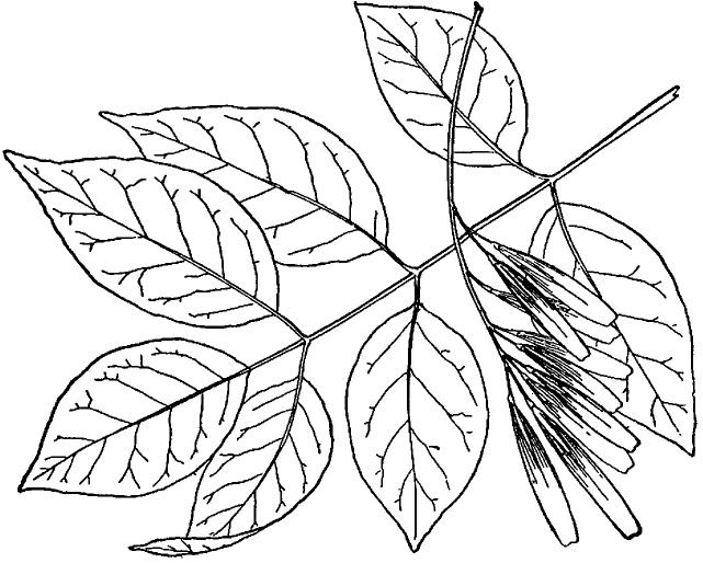 ash tree drawing at getdrawings com