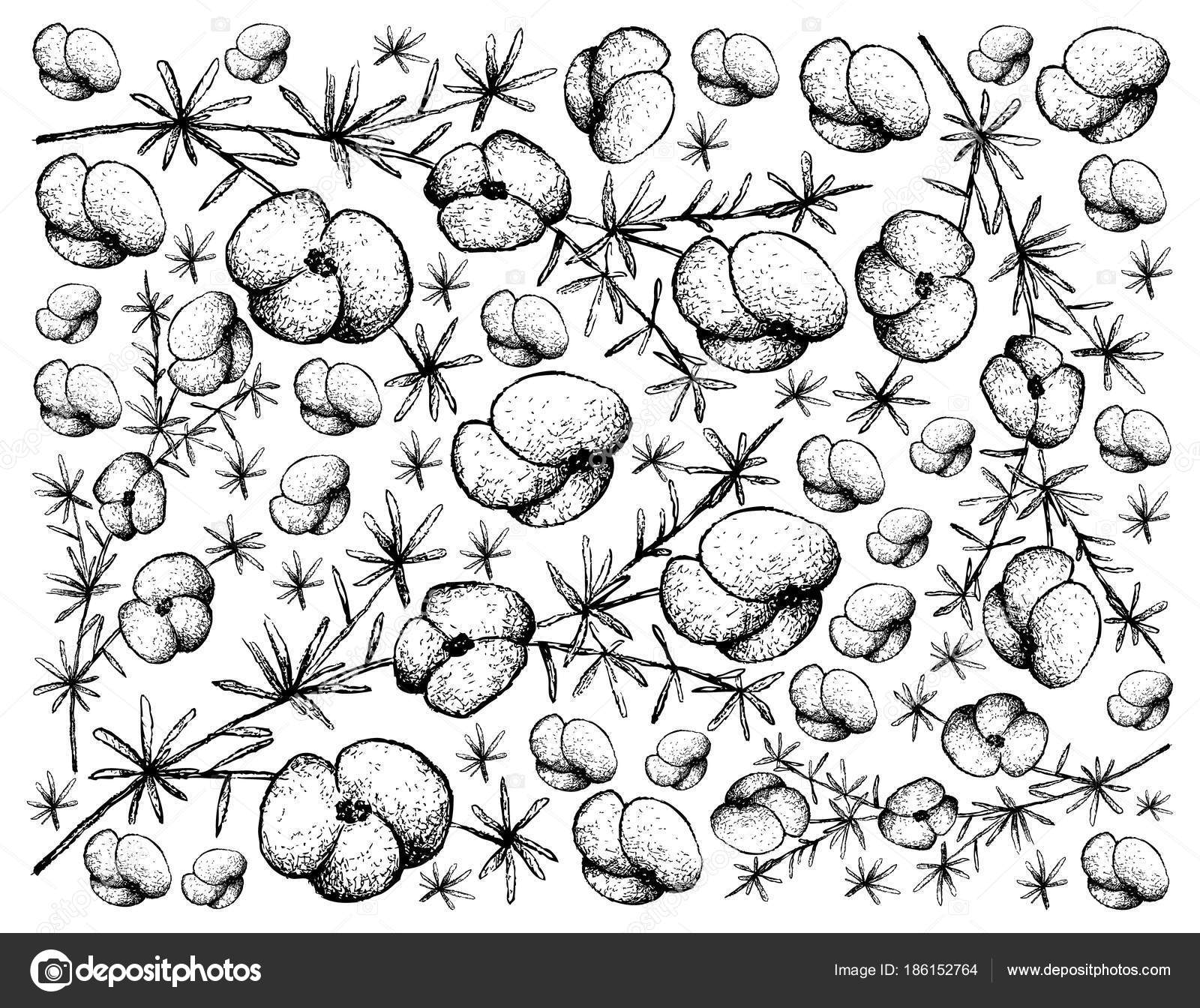 1600x1344 Hand Drawn Background Of Asparagus Fern Fruits Stock Vector