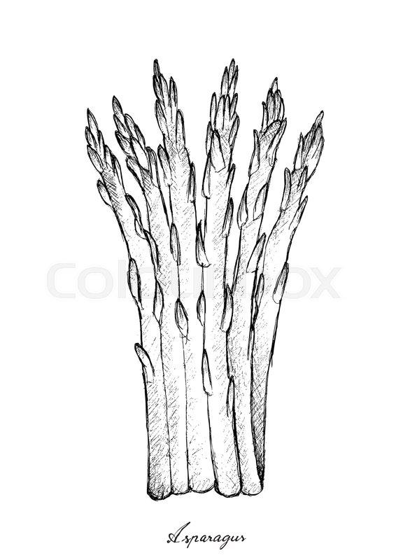 566x800 Stem Vegetable, Illustration Of Hand Drawn Sketch Delicious Fresh