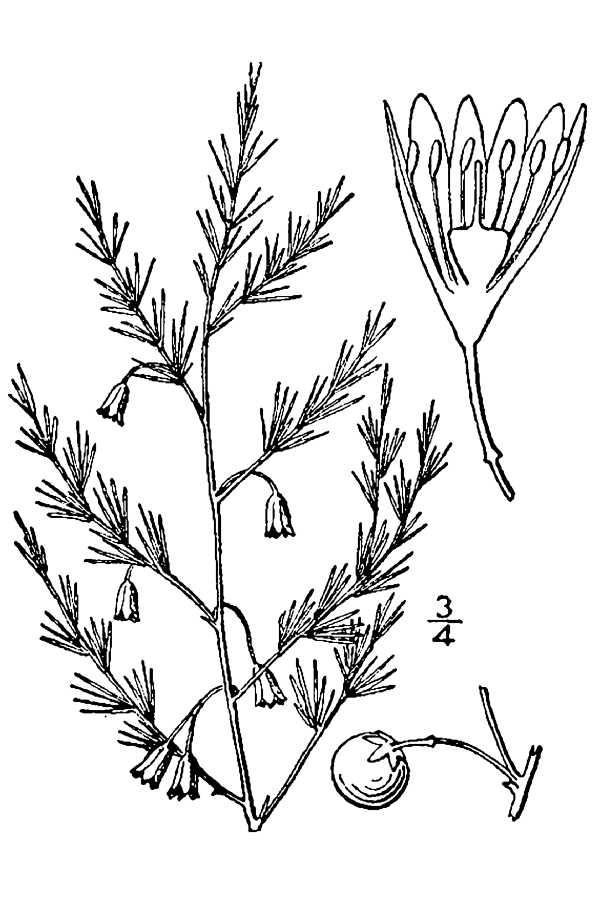 600x900 Asparagus Drawing Line Drawing Of Asparagus Asparagus