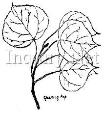 213x230 90 Best Tattoo Ideas Images On Aspen Leaf, Leaf