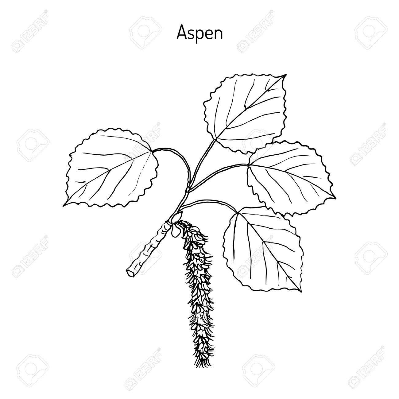 1300x1300 Aspen (Populus Tremula), Or Common Aspen, Eurasian Aspen, European