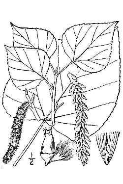 250x375 Aspen (Populus Tremuloides)