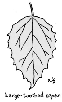 Aspen Leaf Drawing